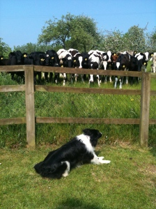Piran teasing the young heifers